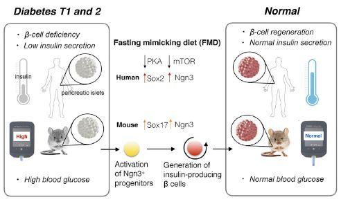 This visual abstract depicts the findings of Cheng et al., who show a short-term diet that mimics periodic fasting modulates b-cell number and promotes insulin secretion and glucose homeostasis with implications for both type 1 and type 2 diabetes.